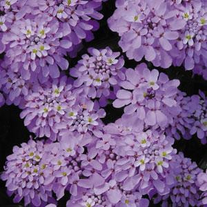 Candytuft Iberis Candycane Lilac
