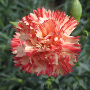 Orange Cream Carnation