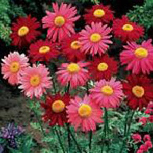 Robinson's Mix Chrysanthemum