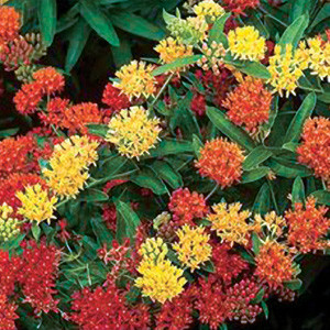 Butterfly Weed-Gay Butterflies Weed