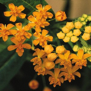 Butterfly Weed-Silky Gold Weed