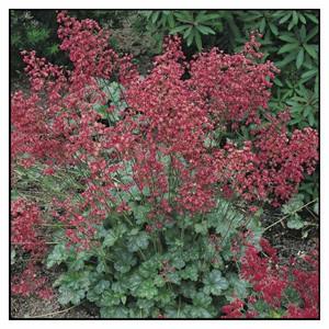 Firefly Coral Bells Heuchera