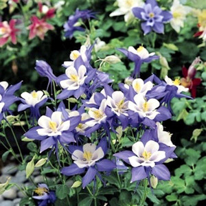 AQUILEGIA SEEDS ORIGAMI BLUE & WHITE