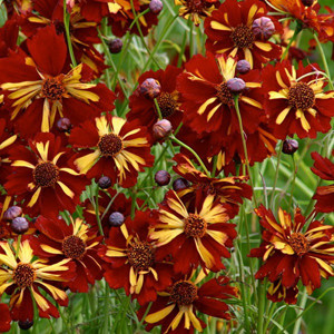 Roulette Coreopsis (Annual)