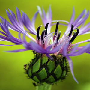 Montana Blue Cornflower