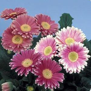 Gerbera Daisy Pink