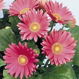 Gerbera Daisy Rose