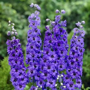 Pacific Giant Blue Jay Delphinium