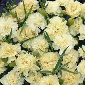 Lemon Fizz Carnation