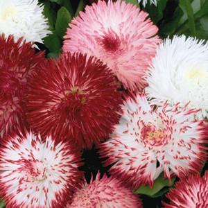 Habanera Mix English Daisy (Bellis)