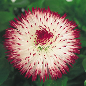 Habanera Red Tips English Daisy (Bellis)