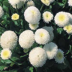 Tasso White English Daisy (Bellis)