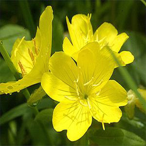 Yella Fella Evening Primrose