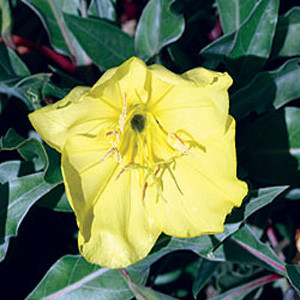 Yellow Evening Primrose