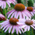 Echinacea Purpurea Purple Coneflower