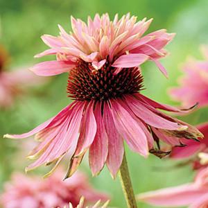 Double Decker Echinacea Seeds