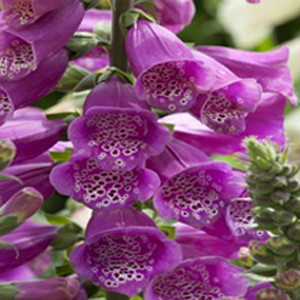 Dalmatian Purple Hybrid Foxglove