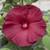 Honeymoon Deep Red Hibiscus