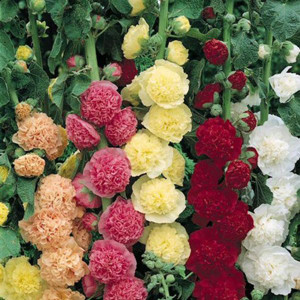 Chaters's Double Mix Hollyhock