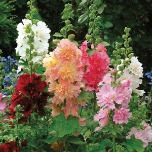 Spring Celebrities Mix Hollyhock