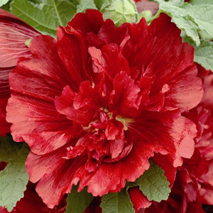 Spring Celebrities Crimson Hollyhock
