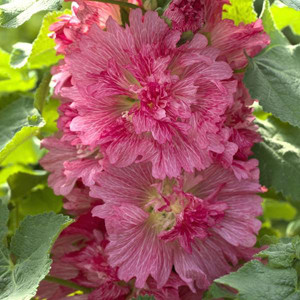 Spring Celebrities Rose Hollyhock