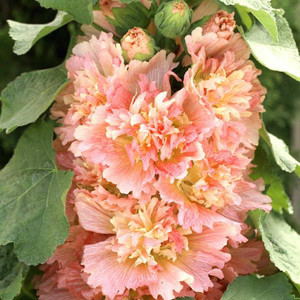 Spring Celebrities Apricot Hollyhock