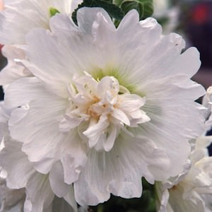 Spring Celebrities White Hollyhock