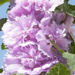Spring Celebrities Lilac Hollyhock