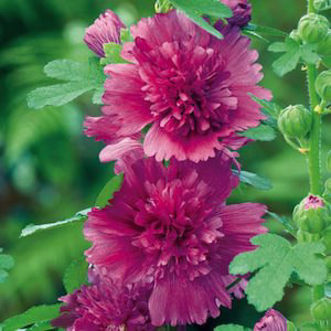 Spring Celebrities Purple Hollyhock