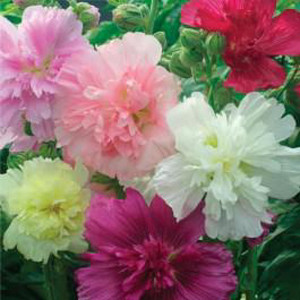 Queeny Mix Dwarf Hollyhock