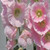 Henry VIII Pink Single Hollyhock