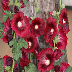 Henry VIII Red Single Hollyhock