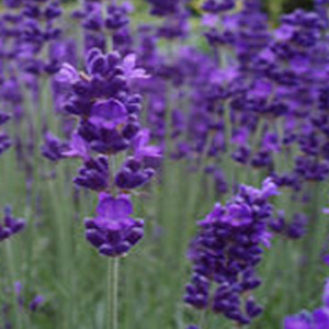 Blue Scent English Lavender