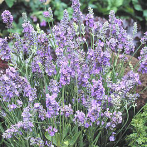 Ellagance Sky English Lavender