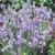 Ellagance Sky English Lavender
