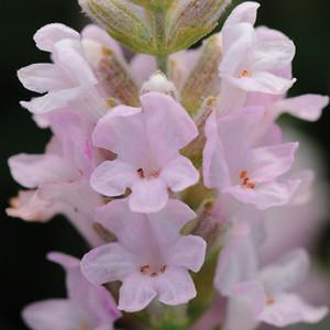Ellagance Pink English Lavender