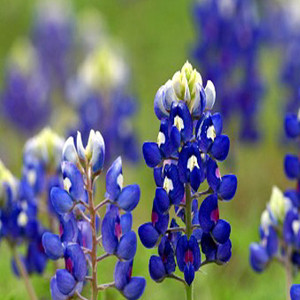 Texas Blue Bonnet Lupine