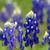 Texas Blue Bonnet Lupine