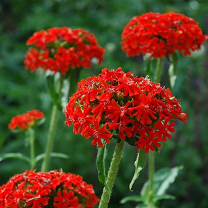 Rose Red Maltese Cross- Lychnis