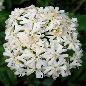 White Maltese Cross- Lychnis