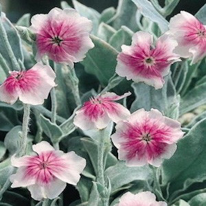 Angel Blush Maltese Cross- Lychnis
