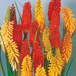 Flamenco Mix Red Hot Poker