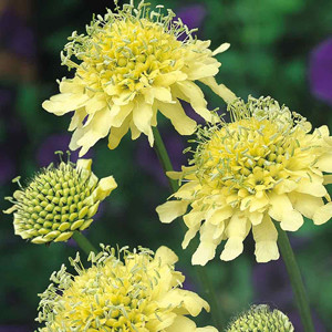 Yellow Pincushion Scabiosa