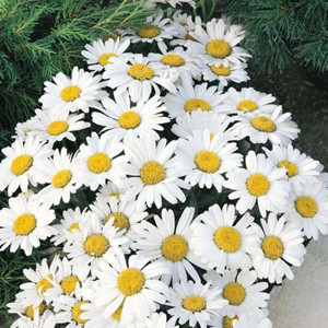 Snow Lady Shasta Daisy