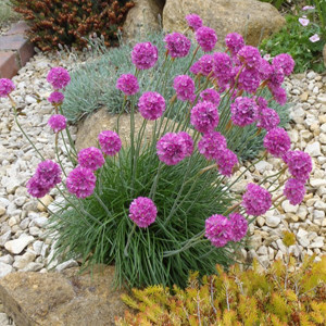 Maritima Thrift Sea Pinks