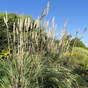 Plume Ornamental Grass