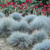 Blue Fescue Ornamental Grass