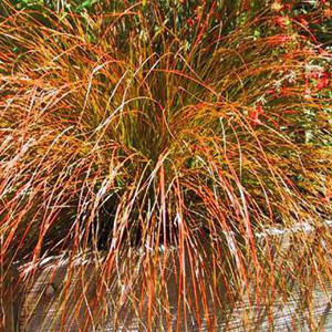 Prairie Fire Carex Ornamental Grass