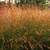 Big Bluestem Ornamental/ Native Grass